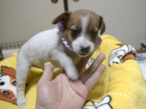 ジャックラッセルテリアの子犬(ID:1255511227)の1枚目の写真/更新日:2017-03-17