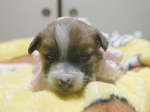 ジャックラッセルテリアの子犬(ID:1255511228)の1枚目の写真/更新日:2017-02-23