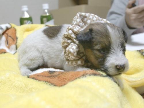ジャックラッセルテリアの子犬(ID:1255511229)の2枚目の写真/更新日:2017-02-23