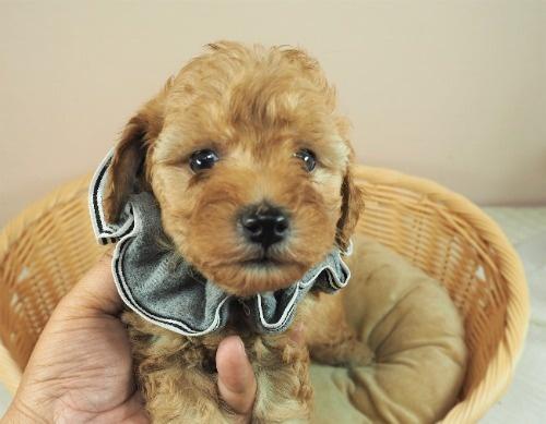 トイプードルの子犬(ID:1255511230)の1枚目の写真/更新日:2017-03-02