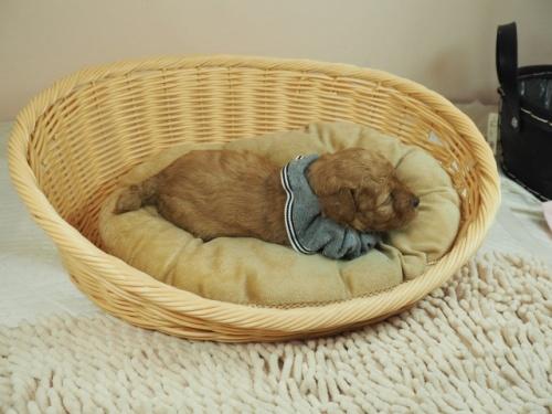 トイプードルの子犬(ID:1255511230)の2枚目の写真/更新日:2020-06-08