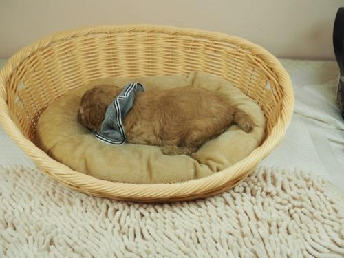 トイプードルの子犬(ID:1255511230)の3枚目の写真/更新日:2020-06-08