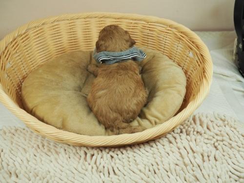 トイプードルの子犬(ID:1255511230)の4枚目の写真/更新日:2020-06-08