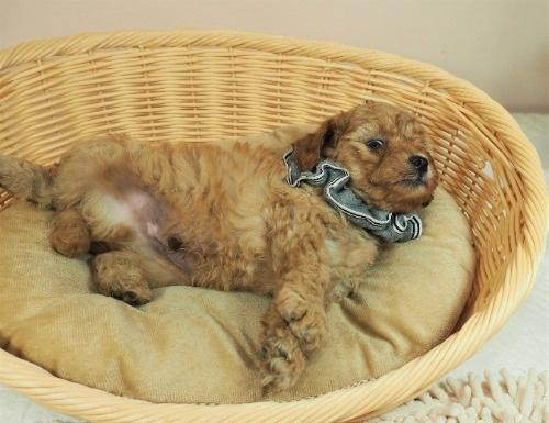 トイプードルの子犬(ID:1255511230)の5枚目の写真/更新日:2021-06-17
