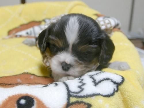 キャバリアの子犬(ID:1255511231)の1枚目の写真/更新日:2017-03-17