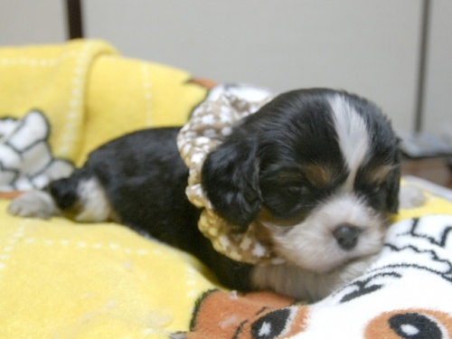 キャバリアの子犬(ID:1255511231)の2枚目の写真/更新日:2017-03-17