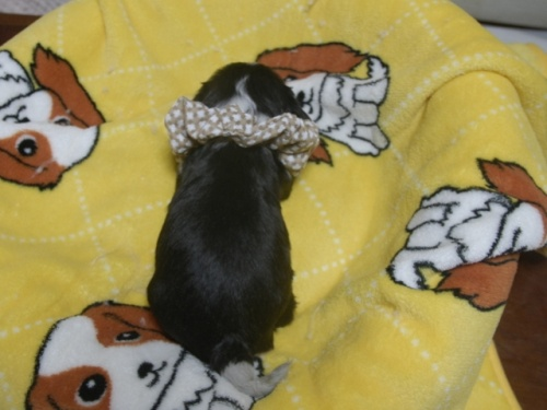 キャバリアの子犬(ID:1255511231)の3枚目の写真/更新日:2017-03-17