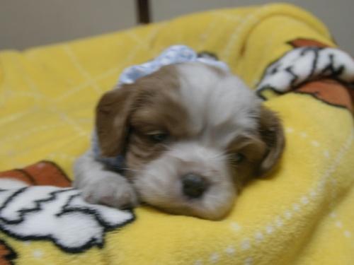 キャバリアの子犬(ID:1255511232)の1枚目の写真/更新日:2017-03-17