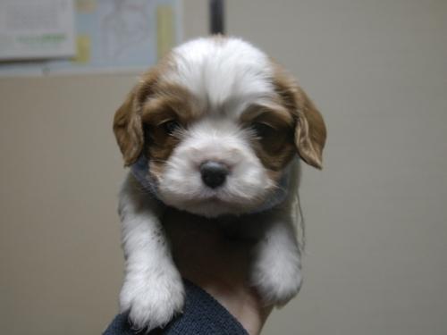 キャバリアの子犬(ID:1255511232)の2枚目の写真/更新日:2017-03-17