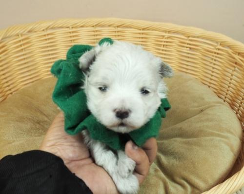 マルチーズの子犬(ID:1255511233)の1枚目の写真/更新日:2021-02-19