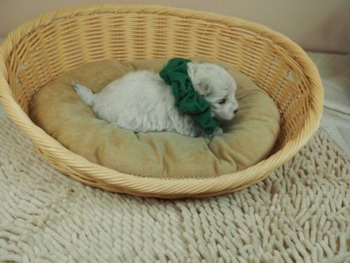 マルチーズの子犬(ID:1255511233)の2枚目の写真/更新日:2019-03-22