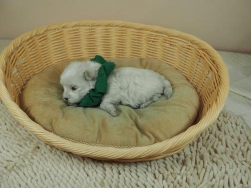 マルチーズの子犬(ID:1255511233)の3枚目の写真/更新日:2019-03-22