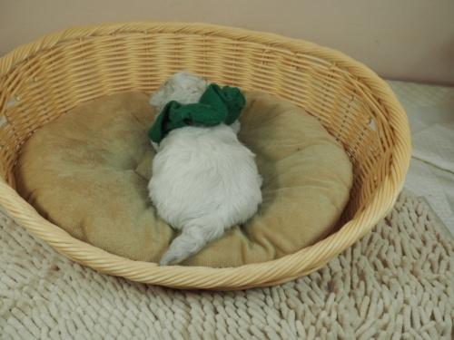 マルチーズの子犬(ID:1255511233)の4枚目の写真/更新日:2019-03-22