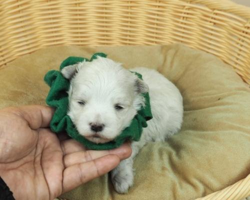 マルチーズの子犬(ID:1255511233)の5枚目の写真/更新日:2021-02-19