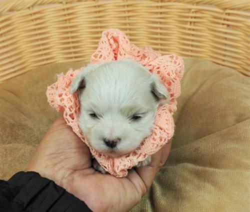 マルチーズの子犬(ID:1255511234)の1枚目の写真/更新日:2021-01-11