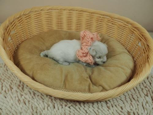 マルチーズの子犬(ID:1255511234)の2枚目の写真/更新日:2021-01-11