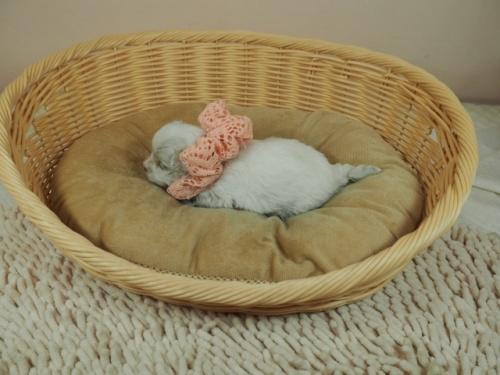 マルチーズの子犬(ID:1255511234)の3枚目の写真/更新日:2021-01-11
