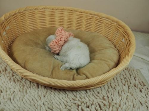 マルチーズの子犬(ID:1255511234)の4枚目の写真/更新日:2021-01-11