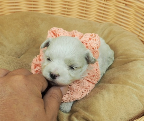 マルチーズの子犬(ID:1255511234)の5枚目の写真/更新日:2021-01-22