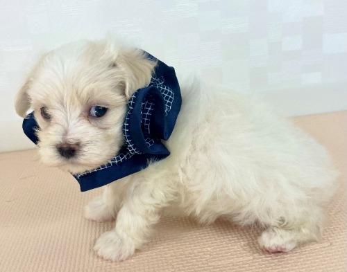 マルチーズの子犬(ID:1255511235)の2枚目の写真/更新日:2021-02-19
