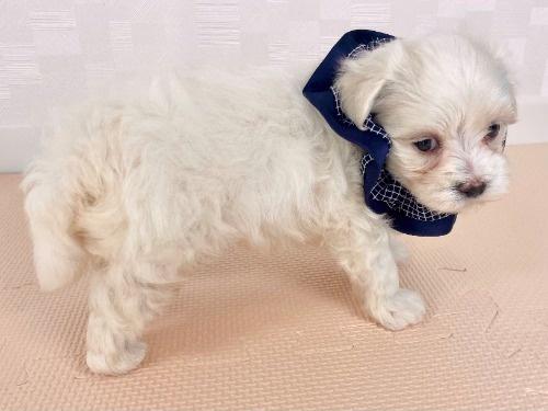 マルチーズの子犬(ID:1255511235)の3枚目の写真/更新日:2021-02-19