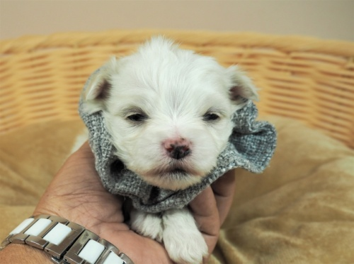 マルチーズの子犬(ID:1255511236)の1枚目の写真/更新日:2017-03-27