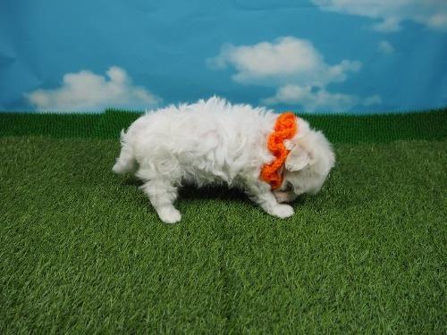 マルチーズの子犬(ID:1255511236)の2枚目の写真/更新日:2017-03-27