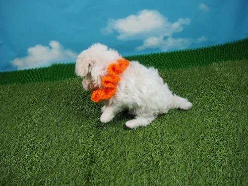 マルチーズの子犬(ID:1255511236)の3枚目の写真/更新日:2017-03-27