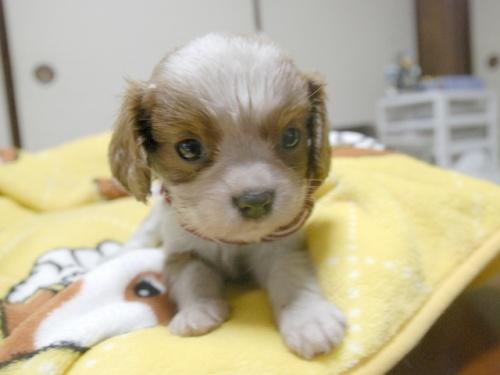 キャバリアの子犬(ID:1255511237)の1枚目の写真/更新日:2017-04-19