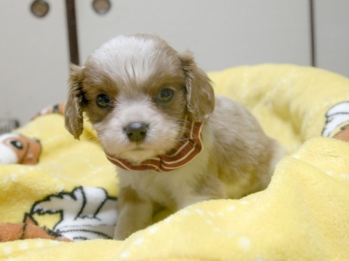 キャバリアの子犬(ID:1255511237)の4枚目の写真/更新日:2017-04-19