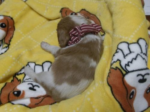 キャバリアの子犬(ID:1255511237)の5枚目の写真/更新日:2017-04-19