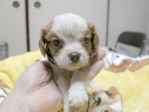 キャバリアの子犬(ID:1255511238)の1枚目の写真/更新日:2017-04-19
