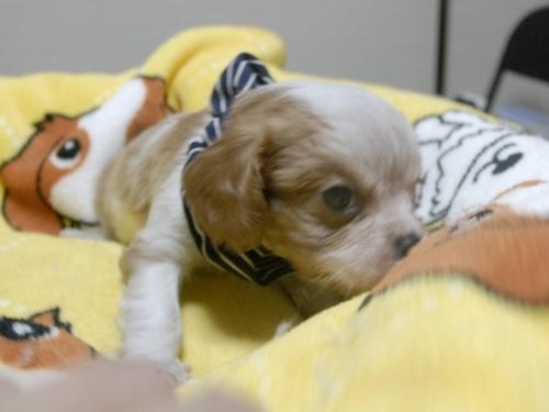 キャバリアの子犬(ID:1255511238)の2枚目の写真/更新日:2017-04-19