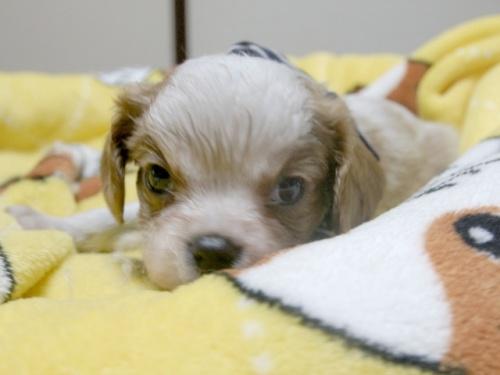 キャバリアの子犬(ID:1255511238)の3枚目の写真/更新日:2017-04-19