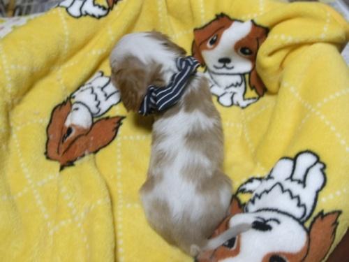 キャバリアの子犬(ID:1255511238)の5枚目の写真/更新日:2017-04-19