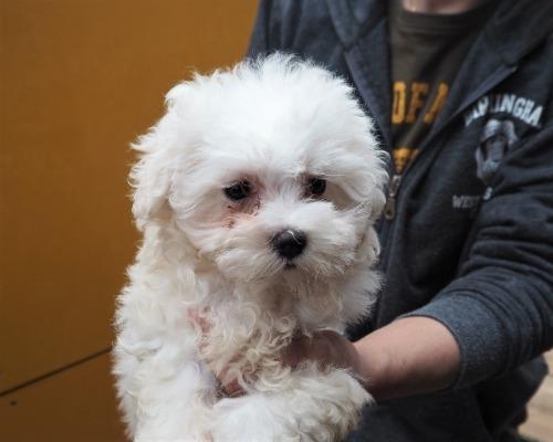 マルチーズの子犬(ID:1255511239)の1枚目の写真/更新日:2017-04-19