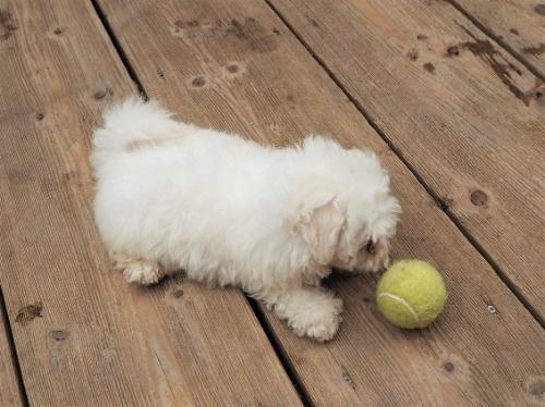 マルチーズの子犬(ID:1255511239)の2枚目の写真/更新日:2017-04-19