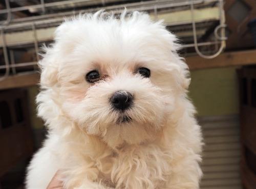 マルチーズの子犬(ID:1255511239)の5枚目の写真/更新日:2017-04-19