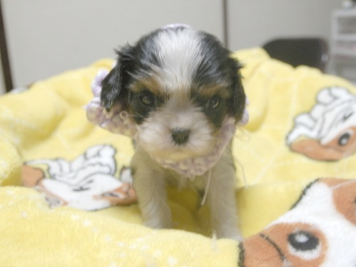 キャバリアの子犬(ID:1255511240)の1枚目の写真/更新日:2017-04-19