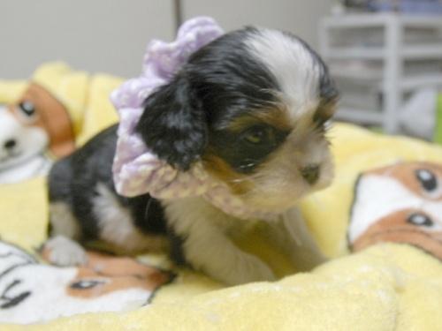 キャバリアの子犬(ID:1255511240)の2枚目の写真/更新日:2017-04-19