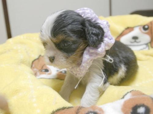 キャバリアの子犬(ID:1255511240)の3枚目の写真/更新日:2017-04-19