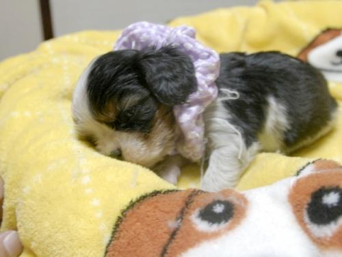 キャバリアの子犬(ID:1255511240)の4枚目の写真/更新日:2017-04-19