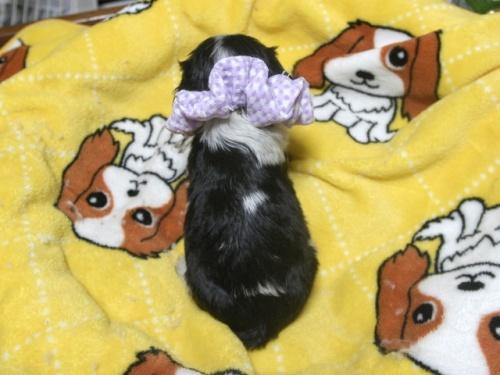 キャバリアの子犬(ID:1255511240)の5枚目の写真/更新日:2017-04-19