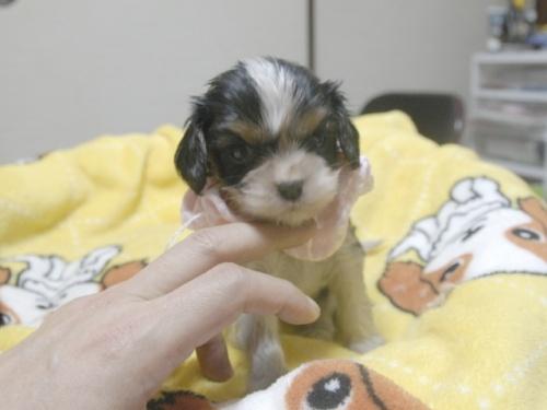 キャバリアの子犬(ID:1255511241)の1枚目の写真/更新日:2017-04-19
