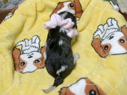 キャバリアの子犬(ID:1255511241)の5枚目の写真/更新日:2017-04-19