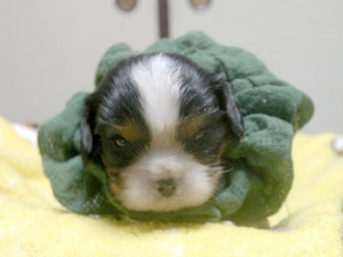 キャバリアの子犬(ID:1255511242)の1枚目の写真/更新日:2017-04-10