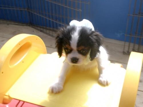 キャバリアの子犬(ID:1255511243)の1枚目の写真/更新日:2017-06-02