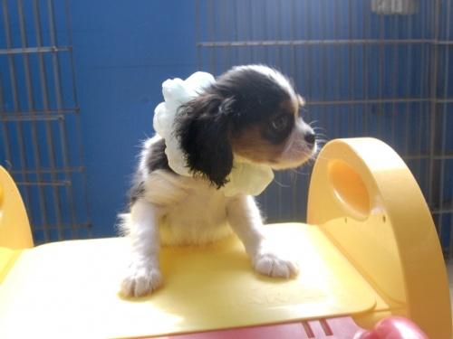 キャバリアの子犬(ID:1255511243)の2枚目の写真/更新日:2017-05-19
