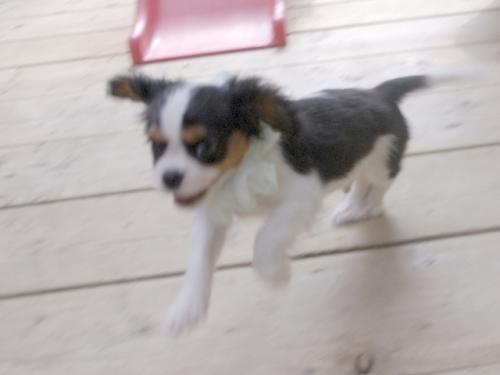 キャバリアの子犬(ID:1255511243)の4枚目の写真/更新日:2017-06-02