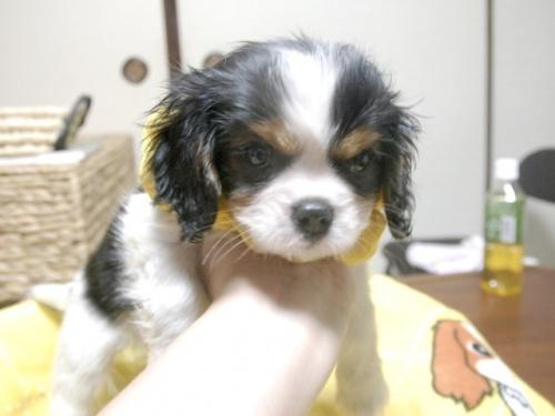 キャバリアの子犬(ID:1255511244)の1枚目の写真/更新日:2017-05-19
